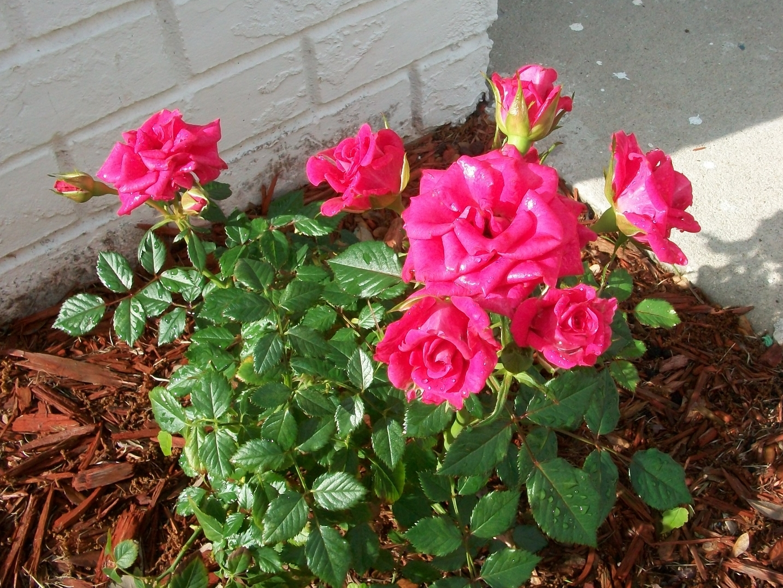 Forever Rose Bushes
