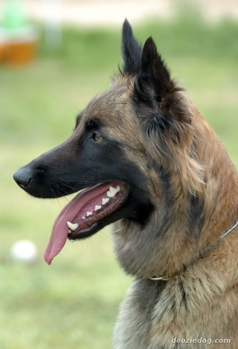 Watch How to Care for a Belgian Malinois video