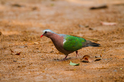 A Photograph of the Emerald Dove taken in Sinharaja, Sri Lanka