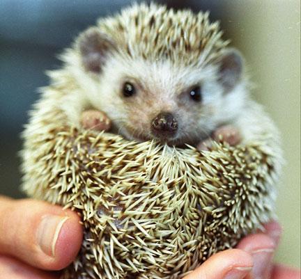 Hedgehog Animal Wildlife