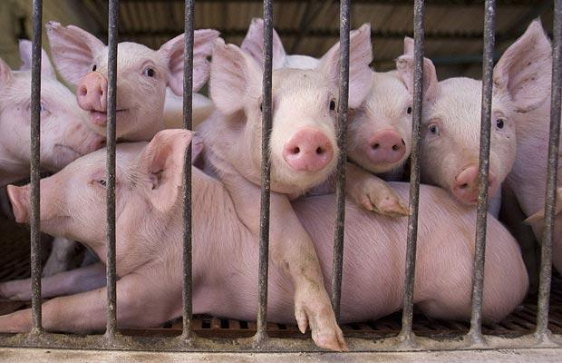 Michigan unleashes armed raids on small pig farmers, forces farmer to shoot all his pigs pig farm
