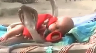 Bayi Tidur Dengan Dikelilingi Empat Ekor Ular Kobra