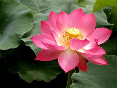 Pink Lotus Flower Picture