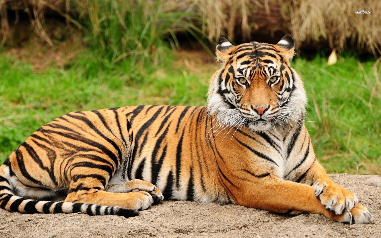Gambar Harimau   Apps Directories
