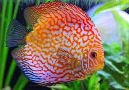The Discus Fish - Cool Freshwater Aquarium Fish - Freshwater Fish