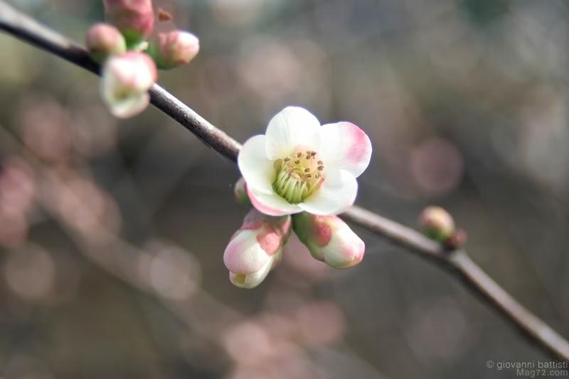 Fotografia di fiori di melo cotogno
