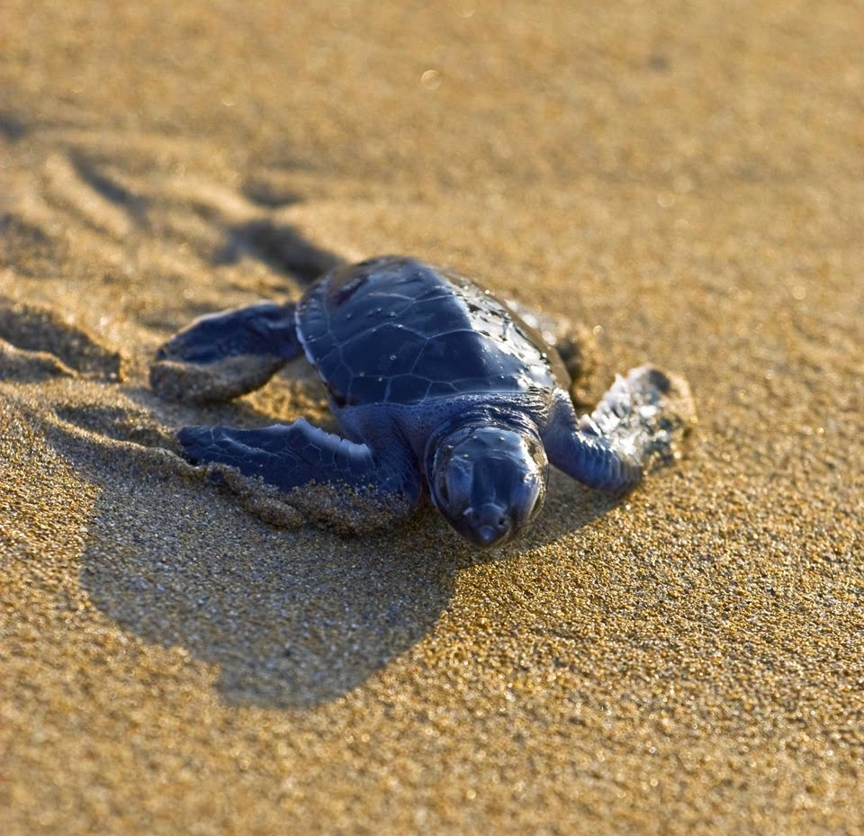 Save Nature Save Human: The Hawksbill Turtle