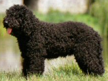 Barbet Dog Pictures