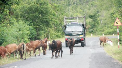 """Gia Lai: Bức xúc tình trạng gia súc """"đi dạo"""" trên quốc lộ"""