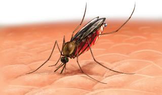 mosquito anofeles picando que produce enfermedad malaria