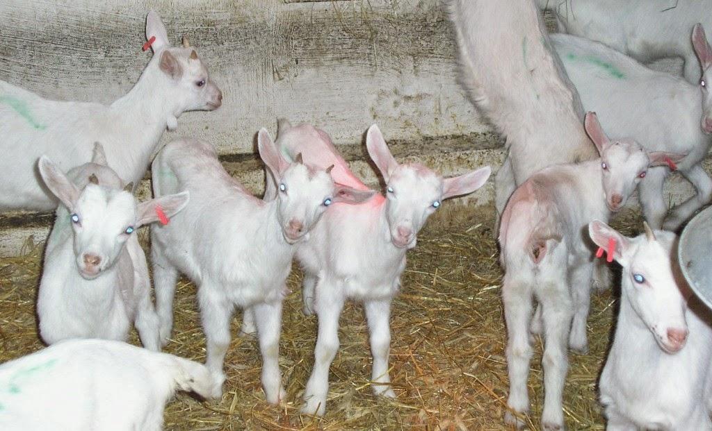vendo capretti saanen 30 euro