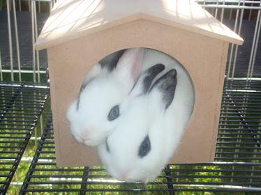 Rabbits ... Amo Amo Amo ...