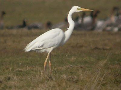 The Daily Apple: Apple #525: Herons vs. Egrets vs. Cranes