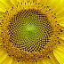 Benarkah Bunga Matahari selalu menghadap Matahari?