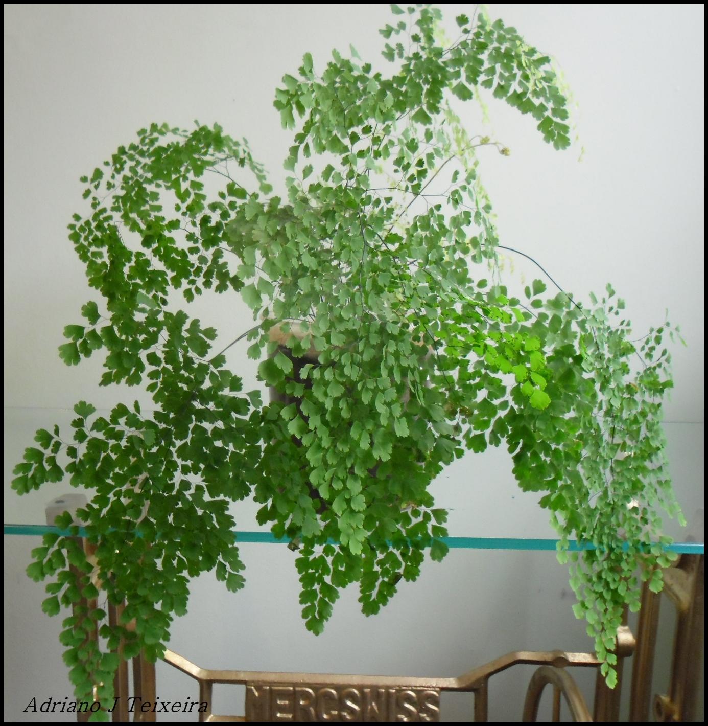 Mundo das Plantas  Avenca uma planta delicada, cuidados e cultivo!