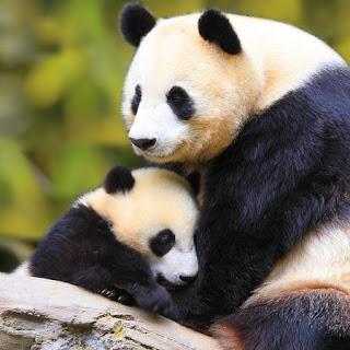 panda hugging her baby