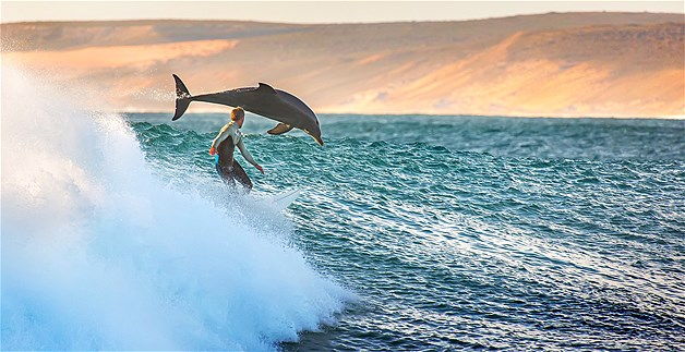 A dolphin launches an attack on a lone surfer