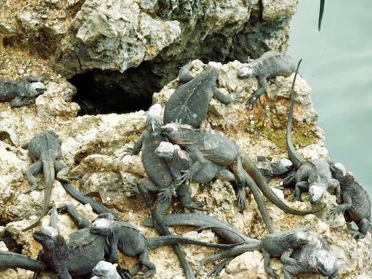 Las Tintoreras Iguanas on Isabela Island