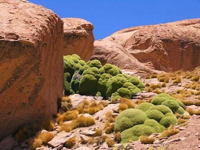 tanaman usia ribuan tahun-2