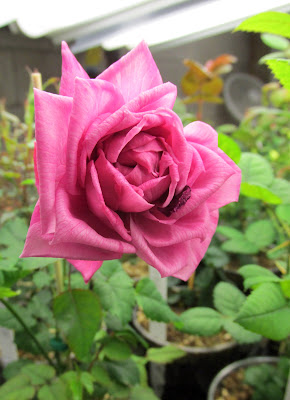 Pink striped rose seedling