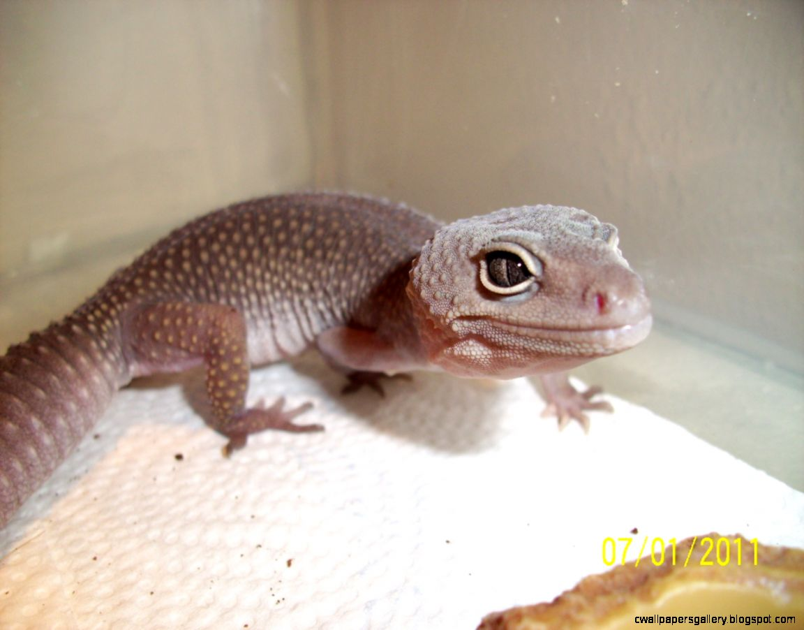 Midnight Blizzard Leopard Gecko  Amazing Wallpapers