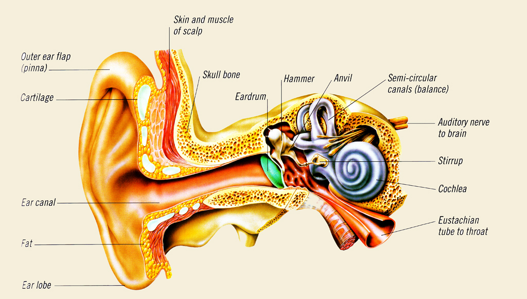 Discovering Something New How The Ear Works