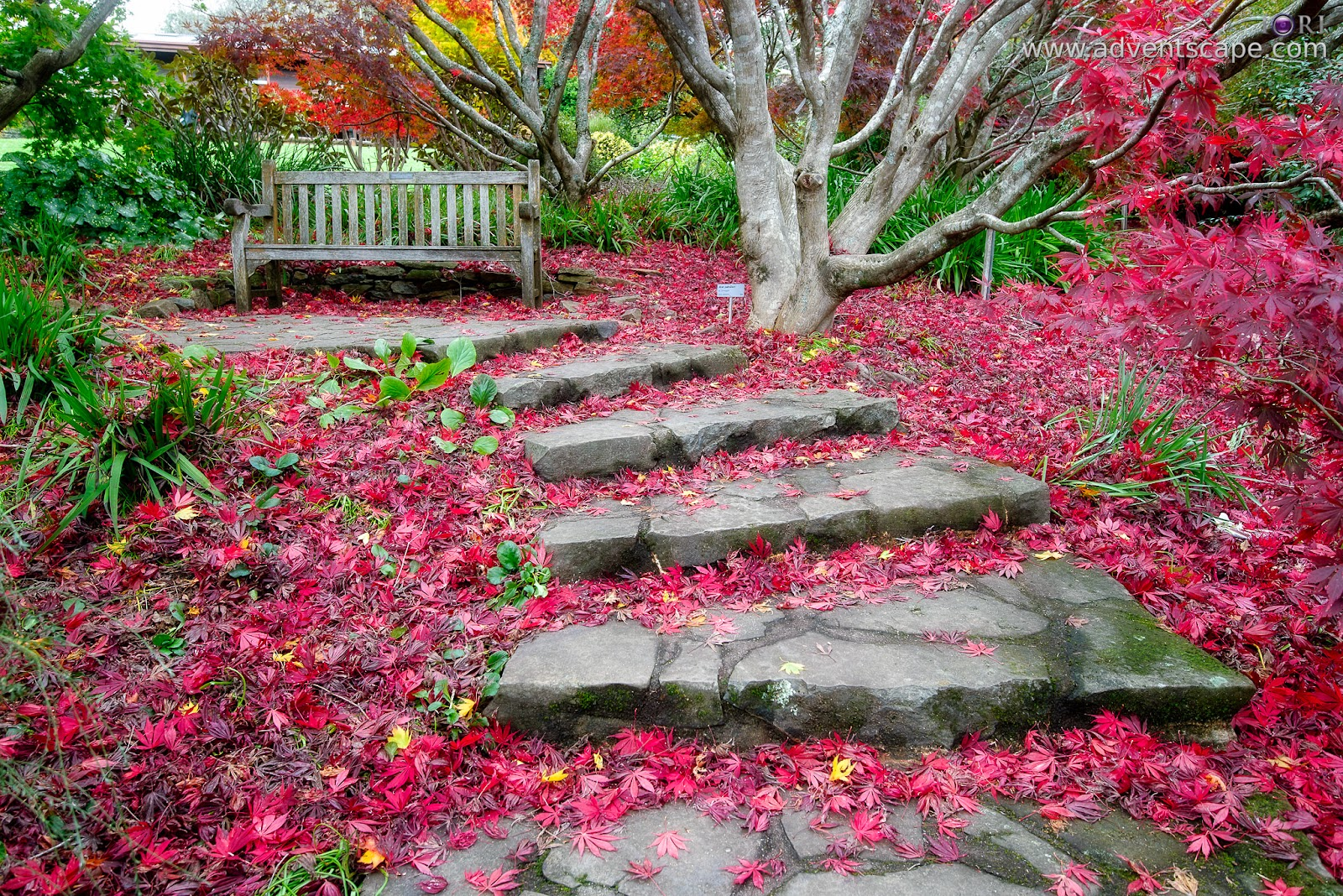 adventscape, Australia, Blue Mountain, Botanical Gardens, iori, Mount Tomah, New South Wales, NSW, Philip Avellana, tourism, travel, fall, autumn, bench, fallen leaves, maple
