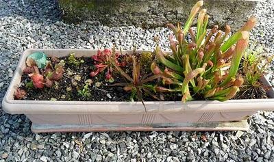 minibog- plantas carnivoras-carnivorous plants
