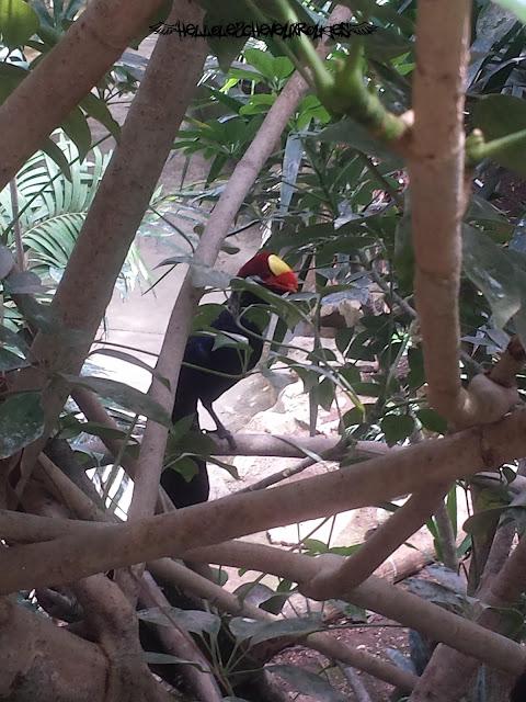 Oiseau bleu grand bec dans la serre tropicale à Touroparc