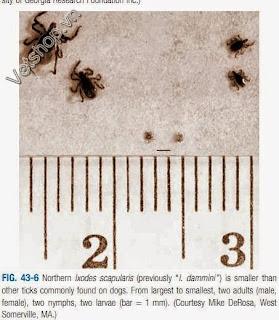 Hình 2: Hình ảnh của Ixodes scapularis ký sinh trên chó