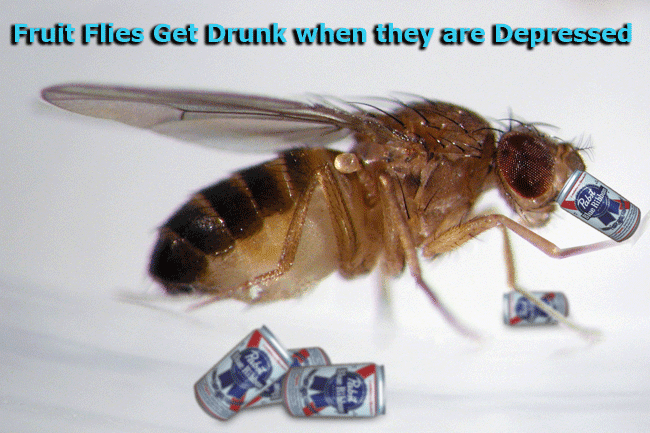 Trivia: Fruit Flies Get Drunk when they are Depressed