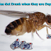 Fruit Flies Get Drunk when they are Depressed