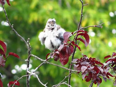 mystery bird very fluffed out