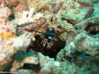 PADI IDC Gili Air, Indonesia, October 2012 Mantis Shrimp