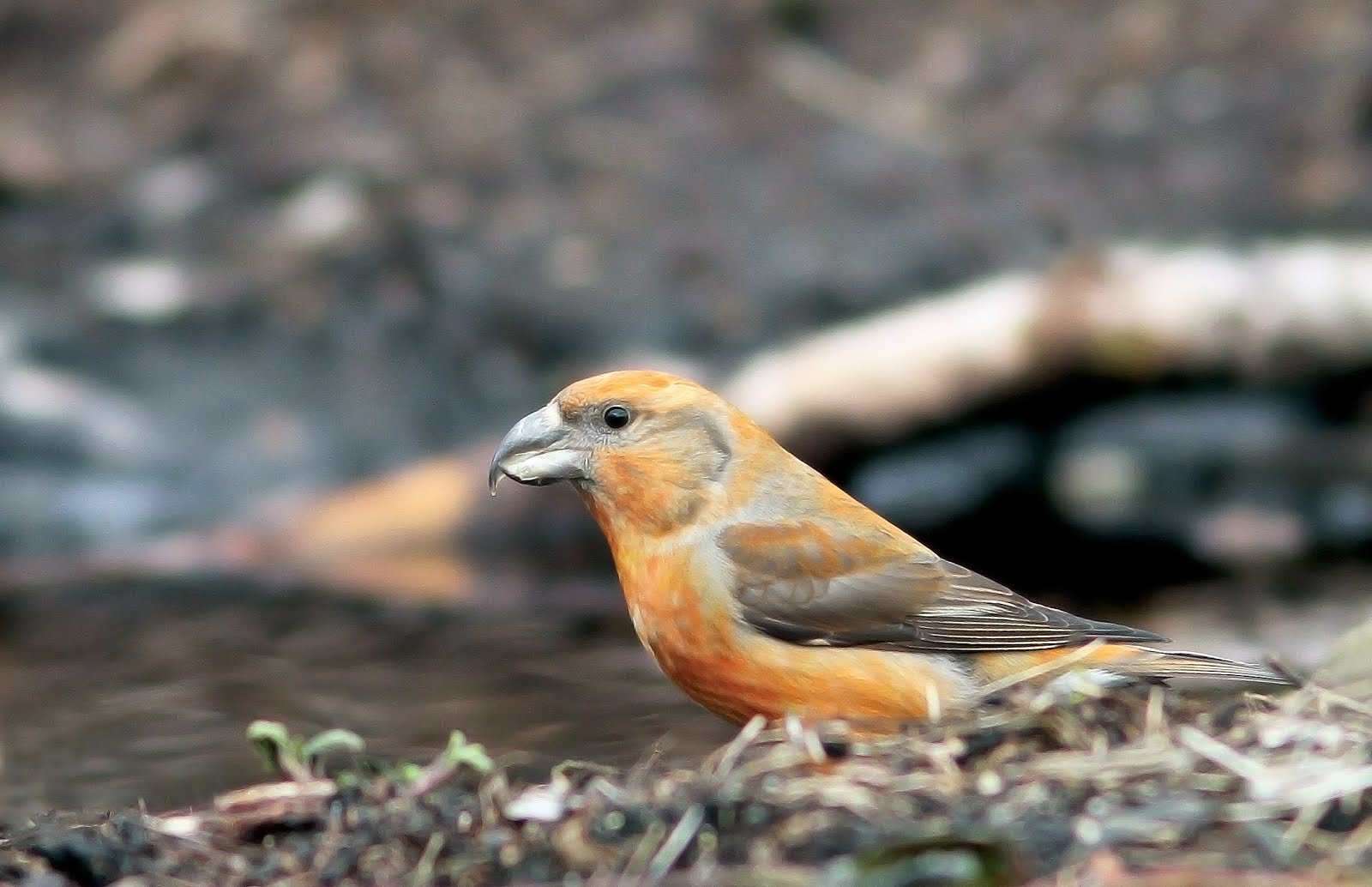 PARROT CROSSBILL