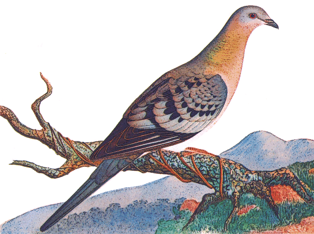 1000 Ideas About Passenger Pigeon On Pinterest Pigeon