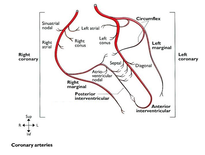 MBBS Medicine (Humanity First): CORONARY ARTERIES