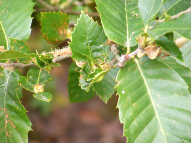 environment oriental chestnut gall wasp threat sweet trees pest
