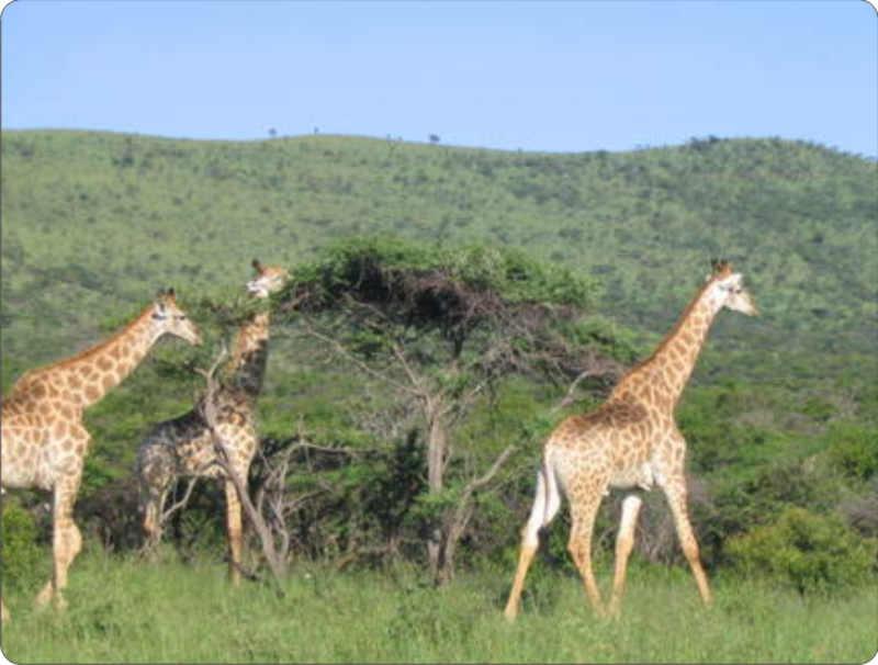 Giraffes Habitat