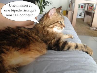 Katia, magnifique chatte à poils longs reine du canapé.