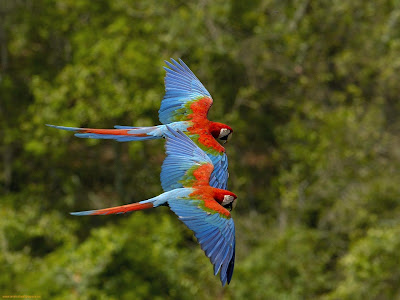 Colorful Parrots Flying