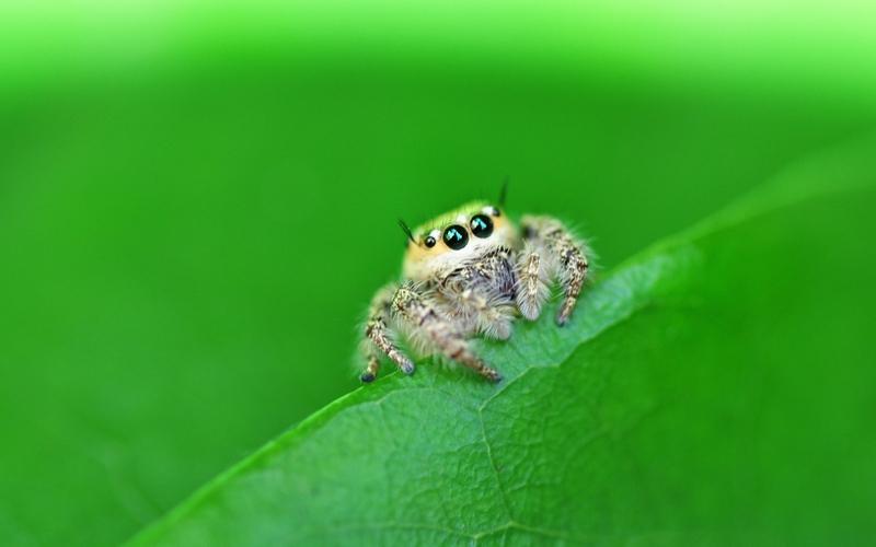 hd jumping spider wallpaper