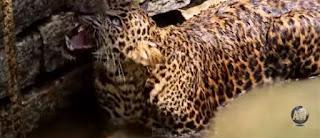 Dezenas de pessoas arriscam a vida para salvar um leopardo selvagem; Será que vão conseguir?