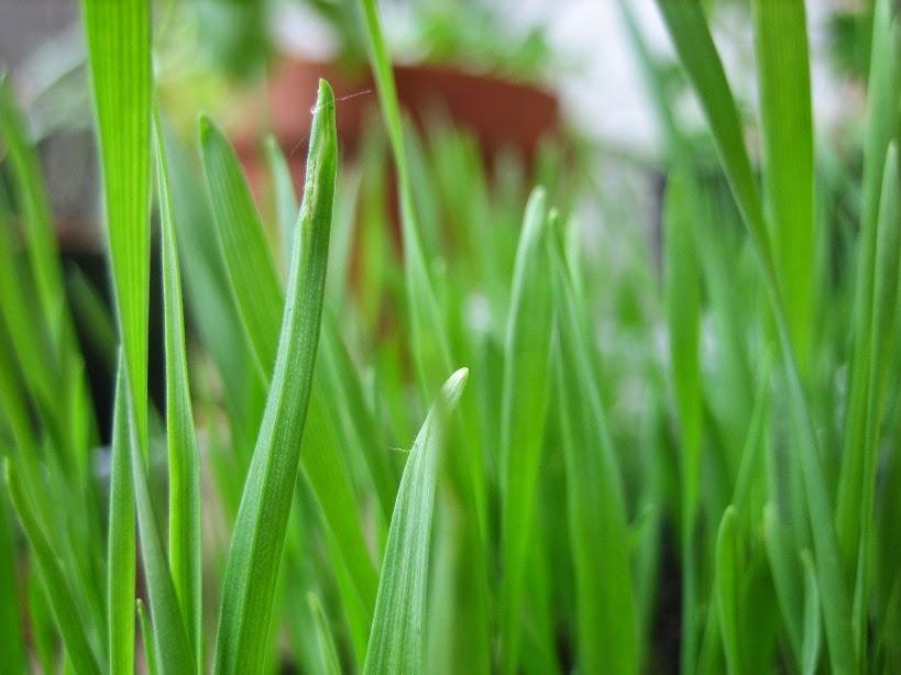 Il mondo di kreativ angie come seminare l 39 erba di grano a - Quando seminare erba giardino ...