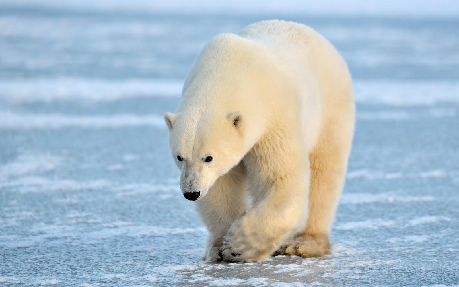 gambar beruang kutub - gambar beruang
