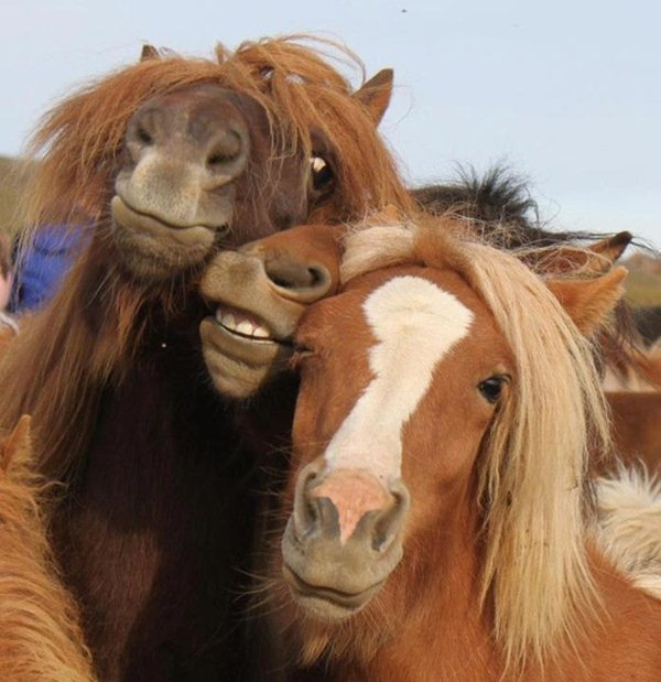 funny animals, three horses posing for camera