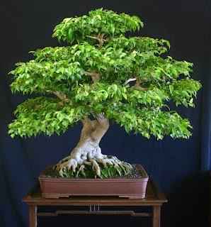 bonsai-beringin