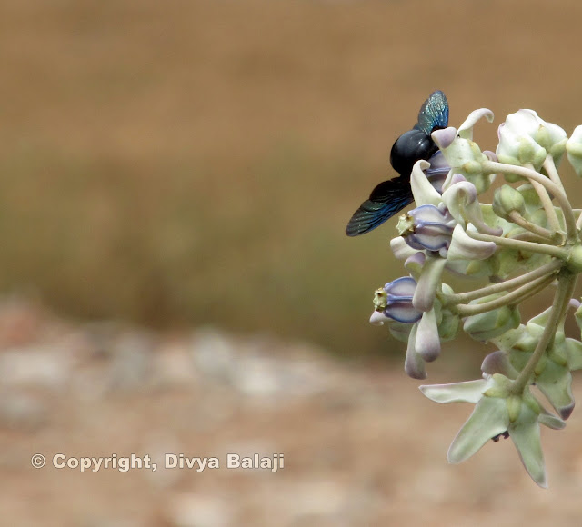 Glossy Black-blue Bee on a flower