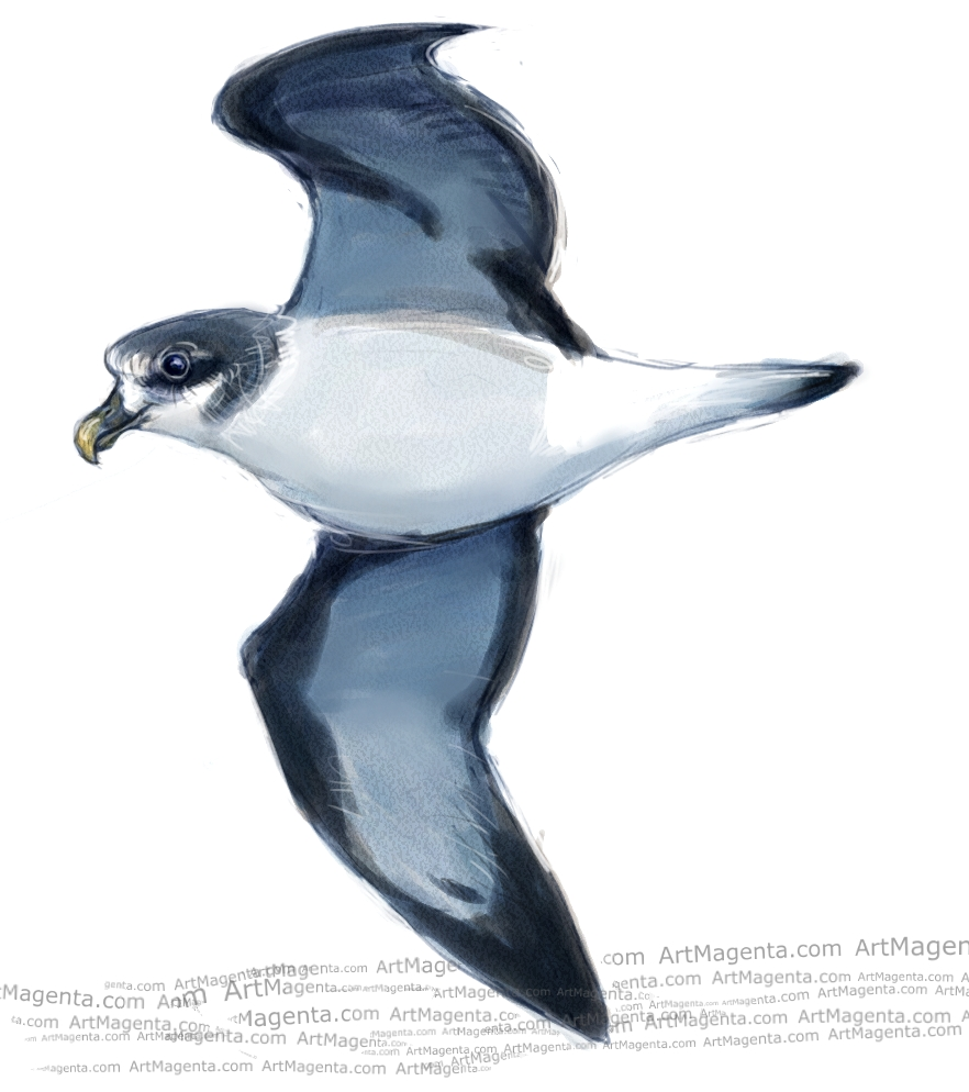 Bermuda petrel sketch painting. Bird art drawing by illustrator Artmagenta