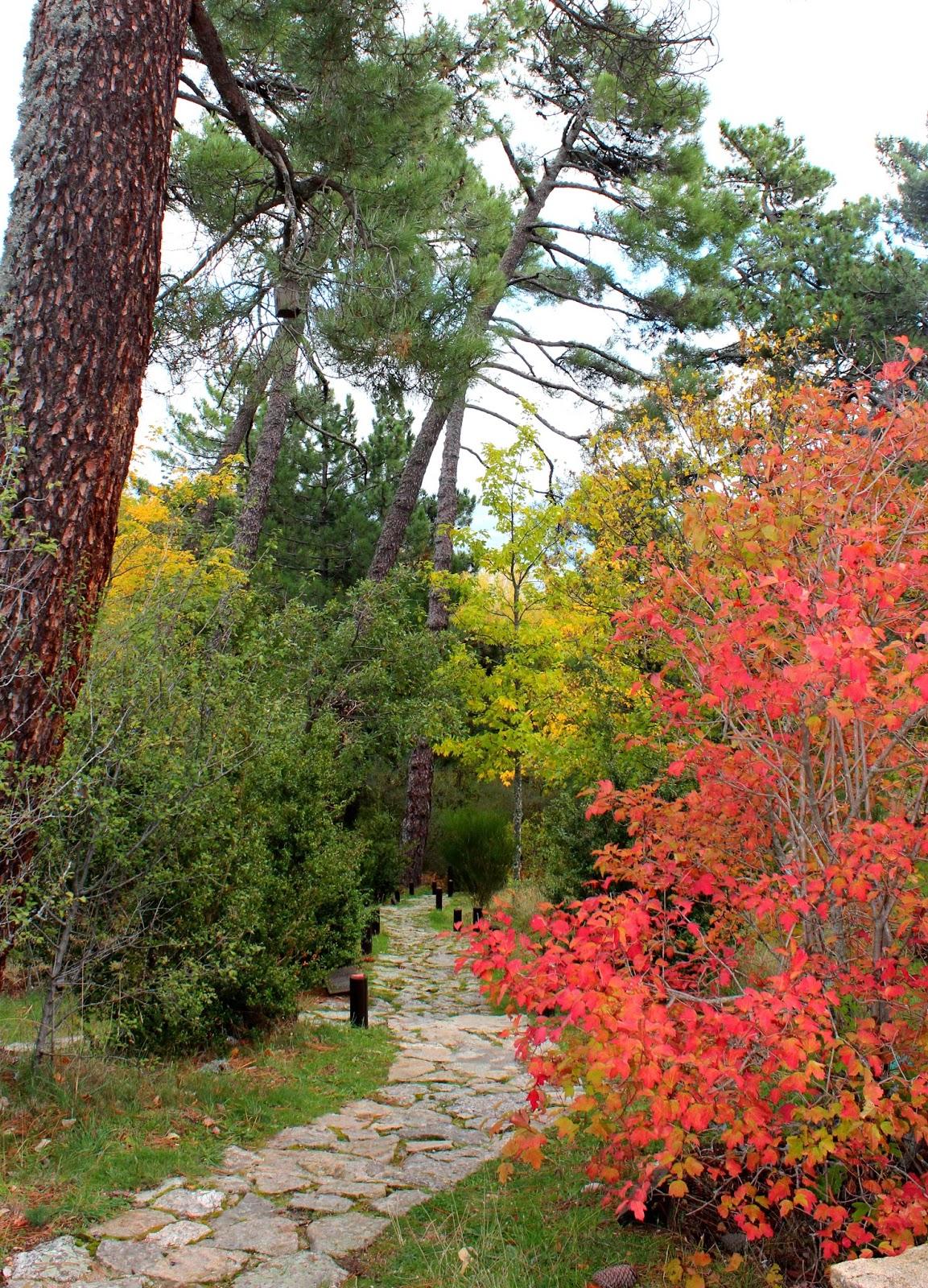 Arce en otoño. Otoño en el arboreto de Luis Ceballos